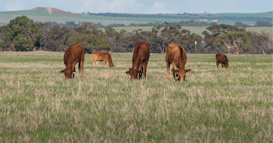 Red cattle grazing grass