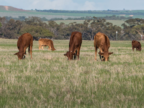 Red cattle grazing in a paddock