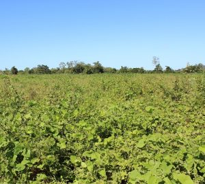 Multi-species cover crop, summer rain