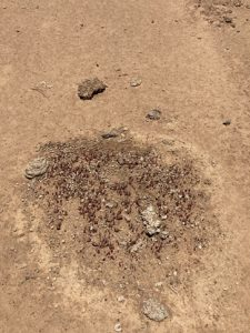 Succession beginning on bare scald. Roughness and nutrient on a fast, smooth surface. Pigweed and one grass plant from cattle and rabbit dung