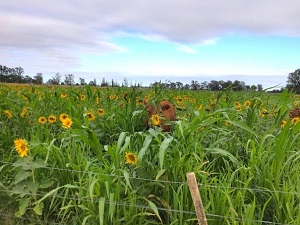 Regenerative Agriculture - cattle in a mixed species crop with sunflowers
